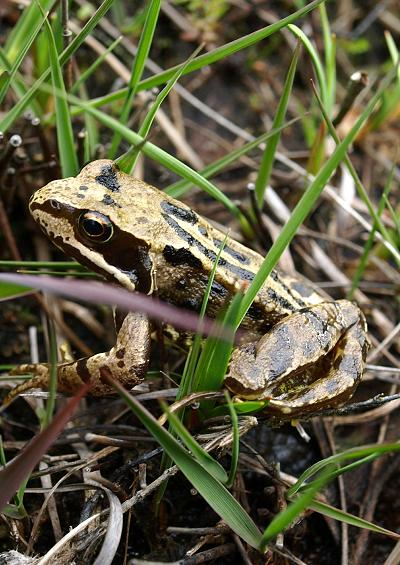 Frog Toad and Newt Amphibian Images UK