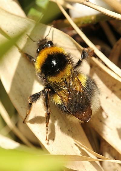 Bumble Cuckoo Honey Leaf Cutter Mining and Solitary Bees UK