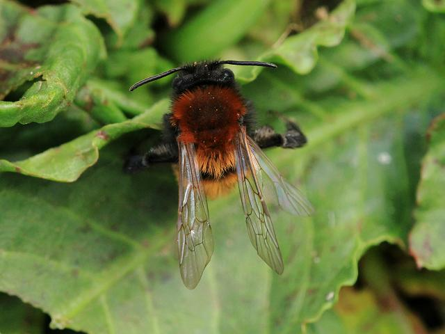 Andrena fulva Tawny Mining Bee Hymenoptera Images
