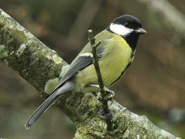 Great Tit Parus major Bird Images