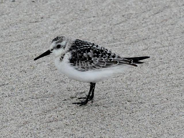 Calidris alba Sanderling Bird Images