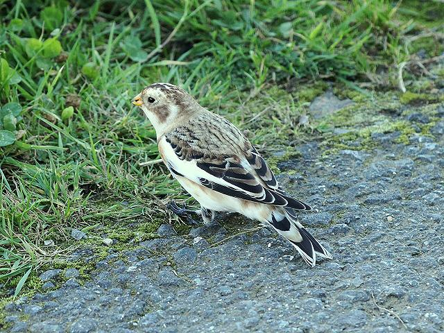 Snow Bunting Plectrophenax nivalis Bird Images