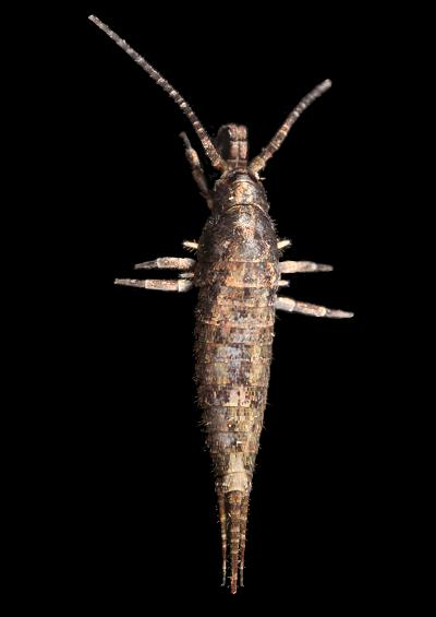 Bristletails Silverfish Thysanura Images UK
