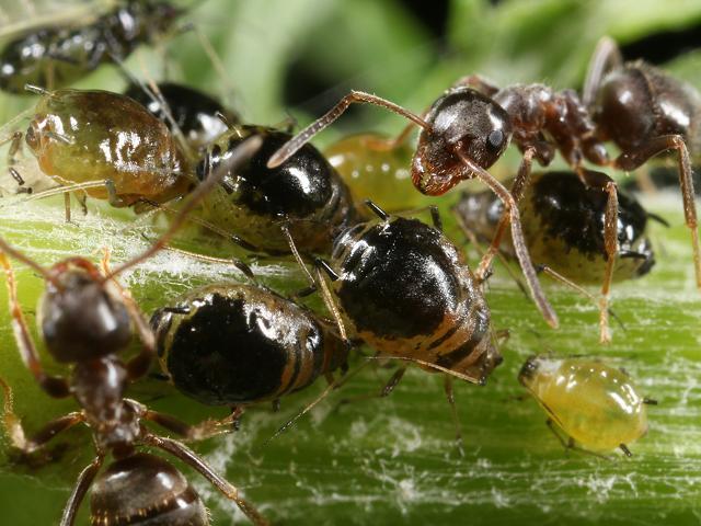 Brachycaudus cardui Plum thistle Aphid Bugs Homoptera Images