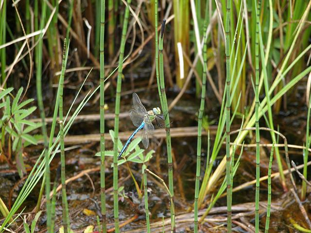 Anax imperator Emperor Dragonfly Dragonflies Odonata
