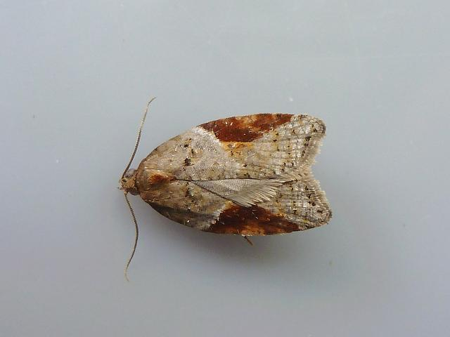 Acleris laterana Tortrix Moth images
