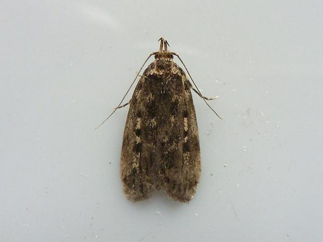 Barea asbolaea Chequered Bar Moth images