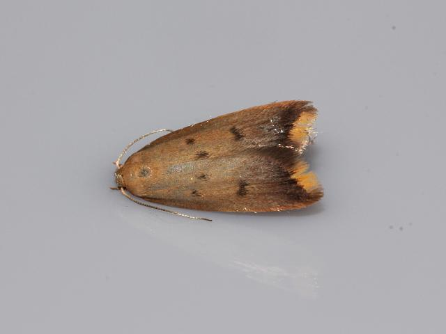 Tachystola acroxantha moth images