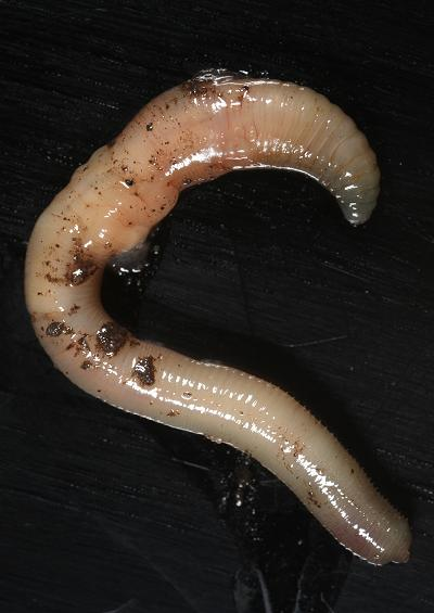 Worms and Leeches Annelida Images UK