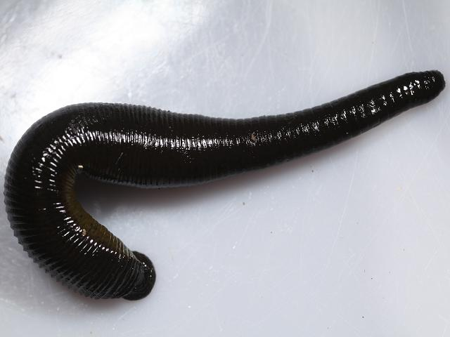 Haemopis sanguisuga - Horse Leech (Annelida Images)