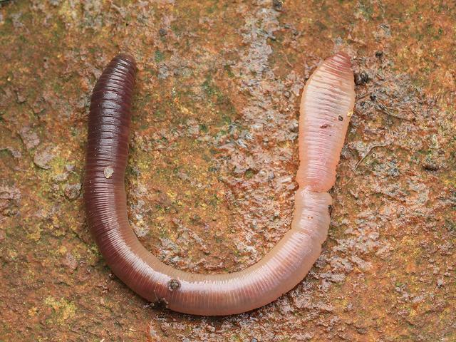 Lumbricus Terrestris Lob Worm Annelida Images